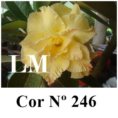 Cor Nº 246 LM