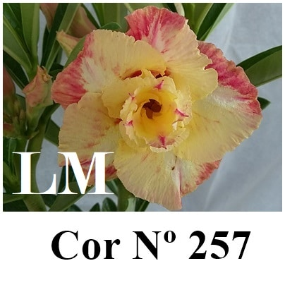 Cor Nº 257 (2) LM