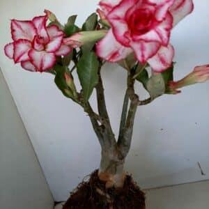 Planta Dobrada 952 – 35cm – 03 anos