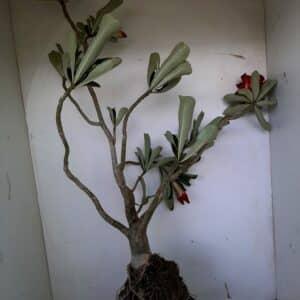 Planta Dobrada 961 – 55cm – 04 anos