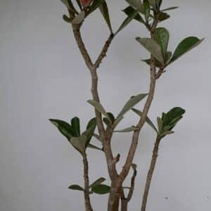 Planta Dobrada 970 – 45cm – 03 anos
