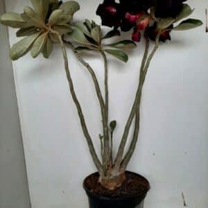 Planta Dobrada 974 – 45cm – 03 anos