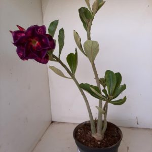 Planta Dobrada 975 – 30cm – 02 anos