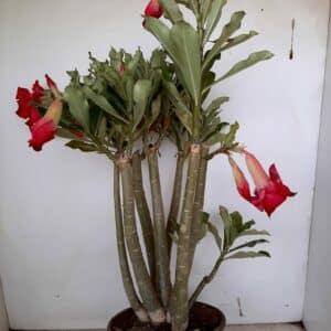 Planta Dobrada 979 – 40cm – 03 anos